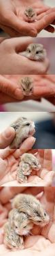 "Baby hamsters. (The first picture often gets pinned as a ""baby owl"", for some reason. Obviously, it is not.): Picture, Robo Hamster, Baby Robo, Brooke Hamsters, Baby Owls, Dwarf Hamsters, Baby Hamsters ️, Baby Hammie, Baby Animals"