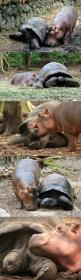 This baby hippo got swept away by a tsunami and a 130 year old tortoise became his new best friend: Animals, Best Friends, Turtles Tortoise, Tortoise Friendship, Baby Hippos, Friendship Goals, Male Friendship Quotes, Tortoises, Year Old Tortoise