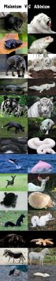 So cool if this is real.: Black Lion, Albino Animals, White Lion, Melanistic Animal, Albino And Melanism Animals