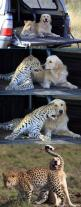 This is cool:  at the San Diego Zoo, they always pair these two animals because the Retriever helps to calm the Cheetah's anxiety.