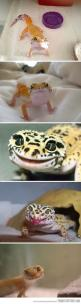 Ridiculously Photogenic Lizard…that moment when a lizard is prettier than you. -_-: Ridiculously Photogenic, Animals, Happy Lizard, Photogenic Lizard, Reptile, Lizards, Leopard Geckos