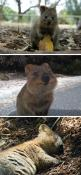 This happy animal exists...the Quokka. It can be found on some smaller islands off the coast of Western Australia, in particular on Rottnest Island just off Perth.: Animals, Quokka, Happiest Animal, Creature, Happy, Smile, Adorable Animal, Cutest Animal