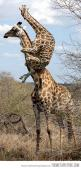 Weeeeeee weeee weeeee! Giraffe baby on the lookout for fun.: Animals, Spiders, Funny Stuff, Funnies, Funny Animal, Giraffes