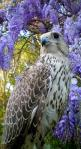 Falcons: Passager, cast. Young: Chick (M) Tercel, Terzel (F) Falcon: Hawks Falcons, Nature, Majestic Falcon, Animals Birds Bugs Etc, Awesone Animals, Birds Raptors Falcons, Beautiful Birds, Beauty, Falcons Owls Eagles Hawks