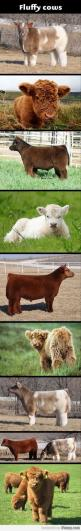 Fluffy Cows. I need a fluffy cow.: Fluffycows, Animals, Fluffy In, Cows I, Stuff, Pet, Gonna