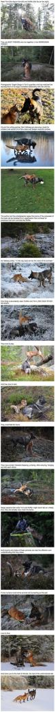 Real-Life Fox And The Hound Best Friends Will Melt Your Heart: Best Friends, Heart, Sweet, Real Life Fox, Foxes, Animal