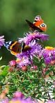 European Peacock and Red Admiral butterflies at work • photo: Greyscale87 on deviantart: Beautiful Butterflies, Admiral Butterflies, Butterflies Insects, Butterflies Dds, Photos Diary, Art Photos, Animal
