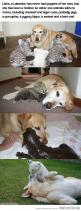An amazing mother...: Sweet, Heart Awwww, Mothers, Adorable Animals, Dog Momma, Funny Labradors, My Heart, Zoo Animals