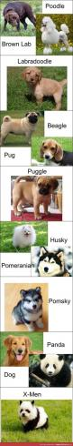 I am a proud owner of a precious puggle :-) DOGS: Dog breeds - http://www.dunway.com/dogs/index.html: Puggle Puppies, Pomsky Puppy, Mixed Dog, Animals Pets, Cute Dogs Breeds, Dog Breeds