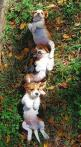 Beagle Puppies rolling in the leaves together.. so much cute!! :)