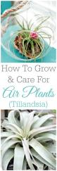 How To Grow And Care For Air Plants - Tillandsia: House Plants, Tillandsia Plants, Air Plants Ideas, Air Plant Care, How To Grow Air Plant, Air Plants Succulents, Air Plants Care, Terrariums Airplants, Indoor Plants