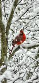 "looks like this was taken in my yard ... every snow ""my"" cardinals are in the trees ...: Red Birds, Birds Cardinals, Animal"