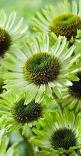 Echinacea 'green jewel': Garden Ideas, Color Green, Nature, Beautiful Flowers, Jewels, Green Flowers