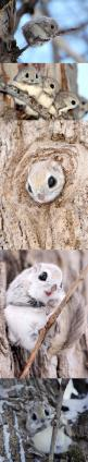 Cute Japanese Flying Squirrels | CUTEST ANIMAL EVER,(fun fact: cuteness leads to aggression that is why we wan to squeeze things we find cute) YES: Cute Animal, Cute Creature, Flying Squirrels, Baby Animal, Fluffy Animal, Japanese Flying Squirrel, Cutest