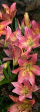 Tumbling Lilies Photograph  - Tumbling Lilies Fine Art Print: Flowers Garden S Plants Trees, Blooms Gardens, Tumbling Lilies, Flowers Plants, Pretty Flowers, Lillies Flower, Backyard Gardens Flowers