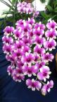 Dendrobium Cherry Song: Song Orchid, Orchids, Flowers Plants, Dendrobium Cherry, Flower Power, Beautiful Flowers, Cherry Song, Garden