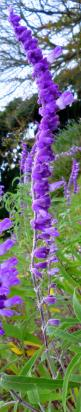 Salvia - Hirado, Nagasaki, Japan. What a beautiful flower!! Anyone have experience with it?: Flower Hirado, Purple Flowers, Purple Passion, Beautiful Flowers, Hirado Nagasaki, Color Purple, Garden