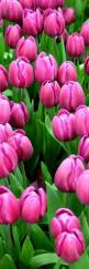 #tulips, my favourite would be red ones because they represent the bond of eternal love.: Pink Tulipanes, Pink Flowers, Spring Flower, Gardens Tulips, Flores Tulips Tulipanes, Flowers Vases Tulips, Gardening Nature Flowers, Beautiful Tulips