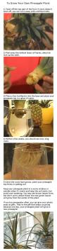 How To: Regrow Pineapples, seriously have been buying a pineapple a week... Wish I knew this earlier....