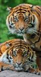 Tigers   See More Pictures   #SeeMorePictures