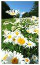 Field of Daisies: Wild Flower, Beautiful Flower, Daisy Daisy, Wildflower, Happy Flower, Daisy S, Favorite Flower