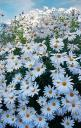 daisies - I love shasta daisies the best, they are more compact than the wild variety and don't require staking.: Daisies Fields, Flowers Fields, Daisy Flowers, Pretty Daisies, Beautiful Flowers, Daisy Whispers, Daisy S, Favorite Flower