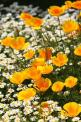 Great combination, California poppies edged with chrysanthemum.: Yellow Flowers, California Poppies, Wild Flower, Flowers Plants, Wildflower, Flowers Garden, Favorite Flower