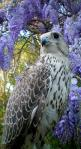Majestic Falcon.. (by FalcoPeregrinus) Lovely falcon! Makes me think of the one at Medieval Times! ^^: Animals, Poultry, Majestic Falcon, Falcons, Raptor, Beautiful Birds, Eagles